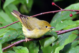 IMG_0631a Yellow Warbler female.jpg