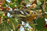 IMG_3863a Blackburnian Warbler  female.jpg