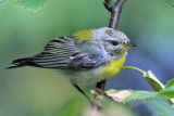 IMG_0905a Northern Parula female.jpg