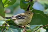 IMG_0608a Blackpoll Warbler.jpg