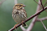 IMG_7199a Savannah Sparrow.jpg