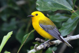 IMG_6728a Prothonotary Warbler.jpg