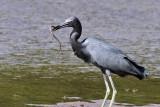 IMG_9940a Little Blue Heron.jpg