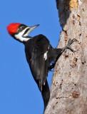 IMG_9605aa Pileated Woodpecker female.jpg