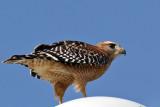 IMG_1542a Red-shouldered Hawk.jpg
