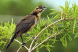 IMG_9439a Boat-tailed Grackle imm.jpg