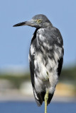 IMG_9286a Little Blue Heron imm.jpg