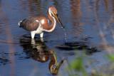 IMG_9943a Tri-colored Heron imm.jpg