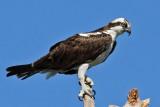 IMG_9732a  Osprey.jpg