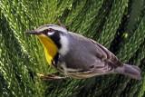 IMG_2988a Yellow-throated Warbler.jpg