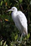 IMG_8707a Little Blue Heron juvenile.jpg