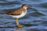 IMG_4101a Spotted Sandpiper winter.jpg