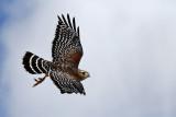 IMG_1546a  Red-shouldered Hawk.jpg