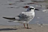 IMG_3829a Forster's Tern winter.jpg