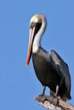 IMG_4173a Brown Pelican.jpg