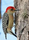 IMG_5591b Red-bellied Woodpecker.jpg