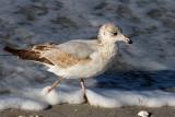 IMG_4641a Ring-billed Gull 1st winter.jpg