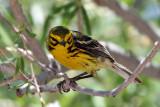 IMG_7816a Prairie Warbler male.jpg