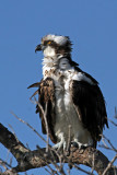 IMG_4731 Osprey.jpg
