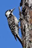 IMG_8151a Red-cockaded Woodpecker.jpg