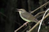 IMG_6978a Swainson's Warbler.jpg