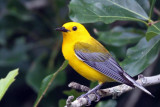 IMG_6712a Prothonotary Warbler.jpg