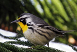 IMG_8367a Yellow-throated Warbler.jpg