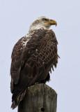 IMG_8404b Bald Eagle sub adult.jpg