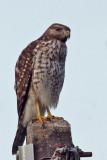 IMG_8700a Red-shouldered Hawk juvenile.jpg