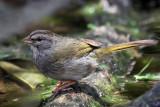 IMG_1573a Olive Sparrow.jpg