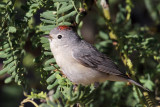 IMG_4114 Lucy's Warbler.jpg