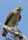 IMG_4294a Red-shouldered Hawk immature.jpg
