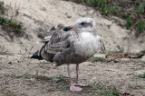 IMG_4996a Glaucous-winged Gull .jpg