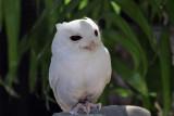 IMG_7540a Eastern Screech Owl.jpg