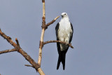 IMG_0107a Swallow-tailed Kite.jpg