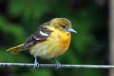 IMG_3322a Baltimore Oriole.jpg