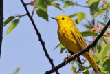 IMG_4803a Yellow Warbler.jpg