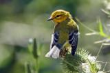 IMG_0877a Black-throated Green Warbler.jpg