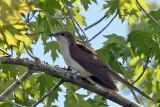 IMG_7428a Black-billed Cuckoo.jpg