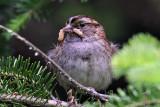 IMG_9625a White-throated Sparrow female.jpg