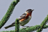 IMG_1874a Bay-breasted Warbler.jpg