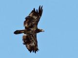 IMG_5633 Bald Eagle immature.jpg