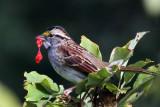 IMG_1383a White-throated Sparrow.jpg