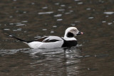 IMG_6748a Long-tailed Duck.jpg