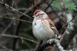 IMG_8831a American Tree Sparrow.jpg