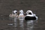 IMG_6742a Long-tailed Duck.jpg