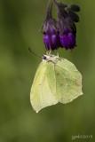 Citroenvlinder/Gonepteryx rhamni