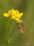 Zwartsprietdikkopje/Thymelicus lineola