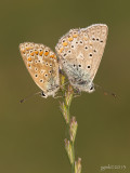 Icarusblauwtje/Polyommatus icarus