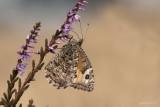 Heivlinder/Hipparchia semele